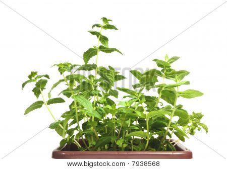 Fresh Mint Herb In A Pot On The White Background