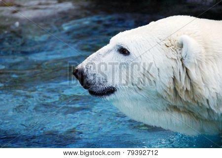 Male Polar Bear Profile