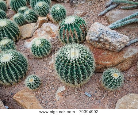 Cacti in the garden
