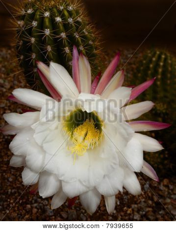 Organ Pipe Cactus Flower