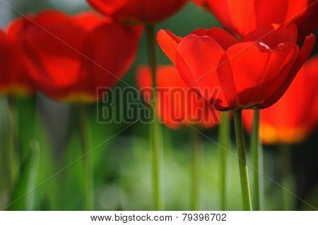 Beautiful Blooming Tulips Field In Spring