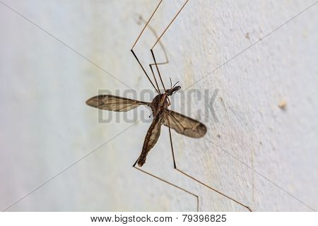 daddy longlegs insect