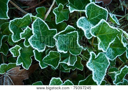 Frost On The Ivy Plant