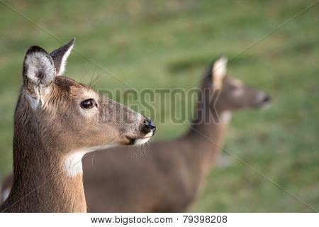 White-tailed Deer Doe