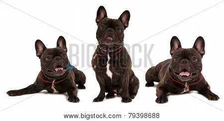 Several dogs breed french bulldog on white background
