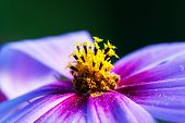 picture of stamen  - Close-Up. Shallow DOF focus on stamens and pollen.