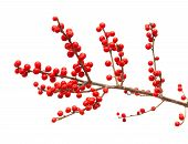 stock photo of winterberry  - Ilex verticillata winterberry branches isolated on white background - JPG