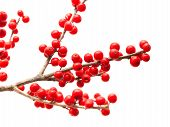 picture of winterberry  - Ilex verticillata winterberry branches isolated on white background - JPG