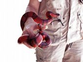 Woman holding corn snake