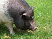 stock photo of pot bellied pig  - My potbellied pig Bean enjoying the green grass and warmth of summer - JPG