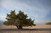 image of conifers  - lonely conifer tree in a field against the sky - JPG