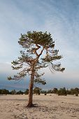 picture of conifers  - lonely conifer tree in a field against the sky - JPG