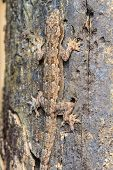 foto of hemidactylus  - close up House small lizard on the tree - JPG