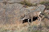 picture of mule  - A large mule deer buck standingon a rocky hillside in Rocky Mountain National Park near Estes Park Colorado - JPG