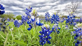 image of bluebonnets  - Open meadow containing numerous bluebonnets under cloudy skies - JPG