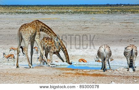 A waterhole in etosha with drinking giraffes and zebras