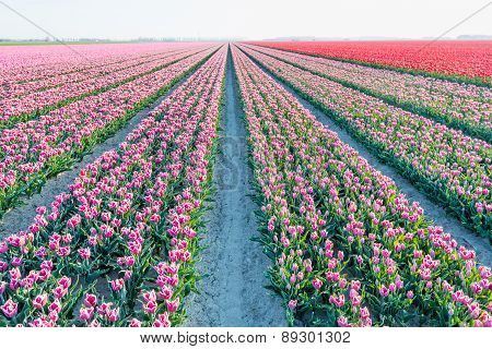 Almost Endless Rows Of  Pink Blooming Tulips In Springtime