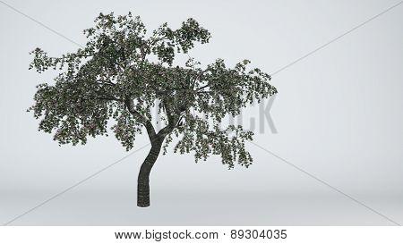 cherry tree isolated