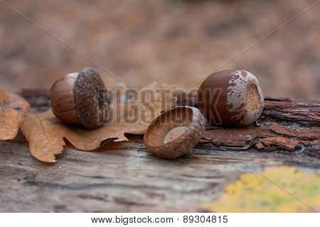 Autumn Leaves Acorns