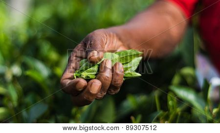 Close-up Of A Hand Of A Tea Picker Holding Freshly Harvested Tea Leaves At The Lipton Tea Estate In