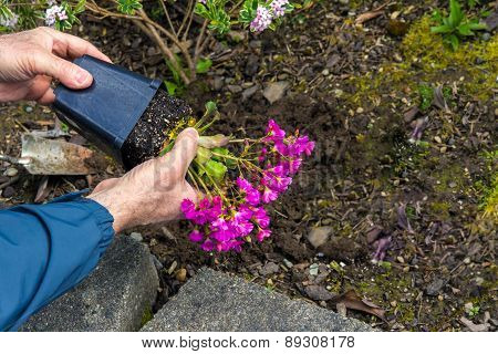 Man Removing Flowers From Pot Before Planting In The Garden Edit