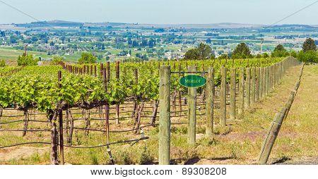Washington Vineyard In Spring
