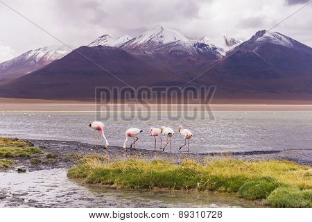flamingos in a lagoon in the mountains
