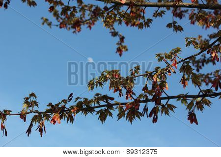 Red Maple Leaves and seed pods with moon against blue clear spring sky