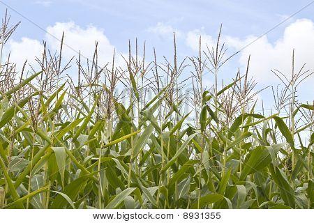 Sweetcorn Field