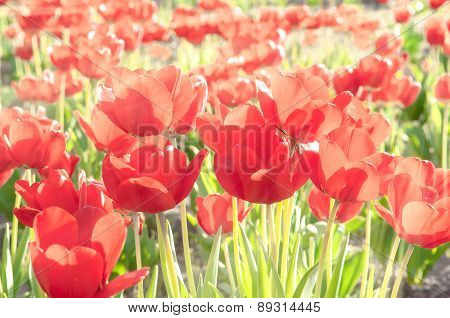 Beautiful tulips