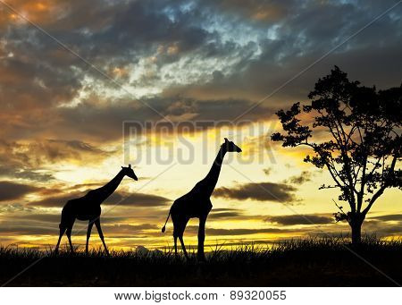 giraffes in the field of africa