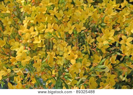 delicate bright yellow Flaming Katy flower is flowers background