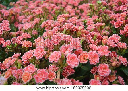 Plant Flowers - Pink Kalanchoe blossfeldiana is flowers background