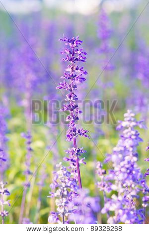 Beautiful spring background with Salvia farinacea Benth.