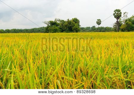 rice fields or rice paddies stalks of rice