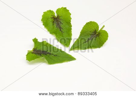 The leaves of mountain herbs with the black spot