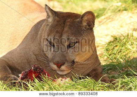 Cougar Eating Meat