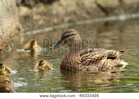 Female Mallard Duck With Offspring