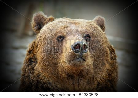 Huge Bear Portrait