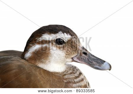 Isolated Portrait Of Female Mandarin Duck