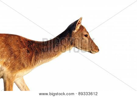 Isolated Side View Of A Deer Doe