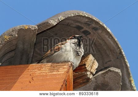 Male House Sparrow Defending His Nest