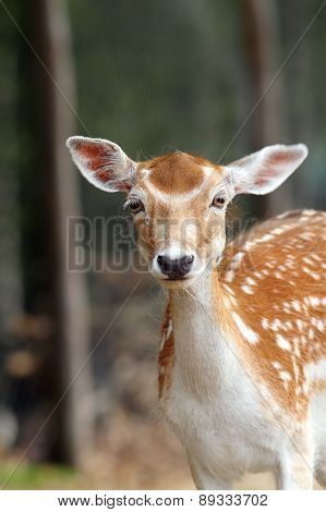 Portrait Of A Fallow Deer Hind