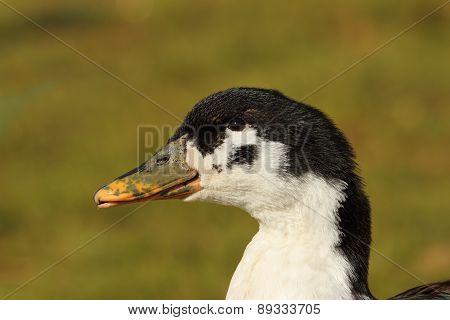 Portrait Of Domestic Duck