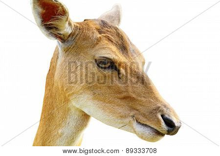 Portrait Of Fallow Deer Hind Over White