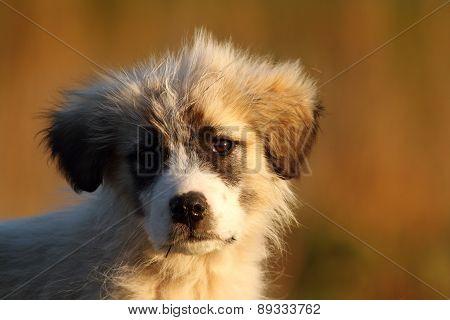 Romanian Shepherd Puppy Portrait