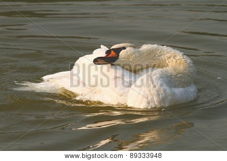 Vintage Effect Image Of Mute Swan On Water