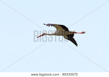 White Stork Fly Image