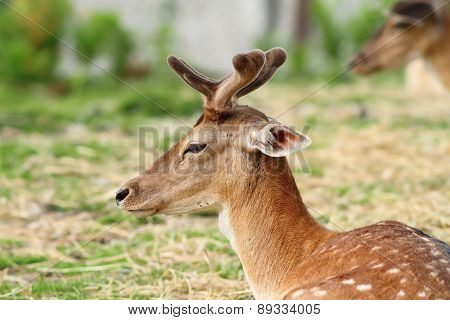 Young Deer Buck With Growing Antlers