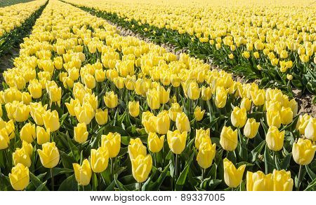 Large Field With Yellow Blooming Tulips